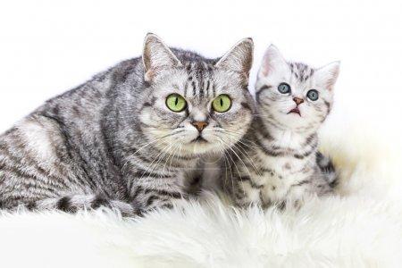 Photo pour Mère britannique shorthair argent chat tabby assis avec jeune chaton isolé sur fond blanc - image libre de droit