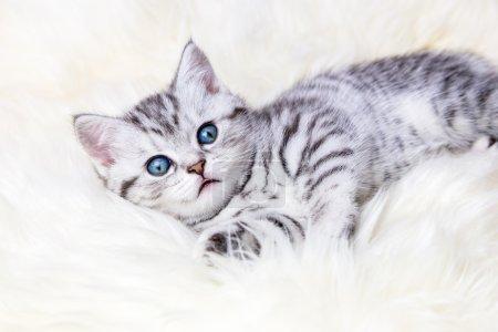Photo pour Jeune chaton tacheté argenté allongé paresseux sur peau de mouton - image libre de droit