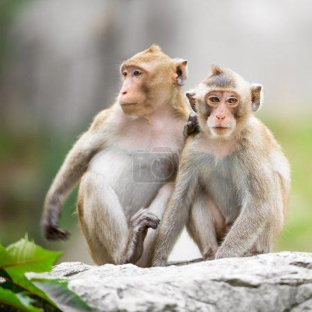 Photo pour Couple de singe mignon à l'état sauvage - image libre de droit