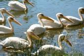 Růžový pelikánů