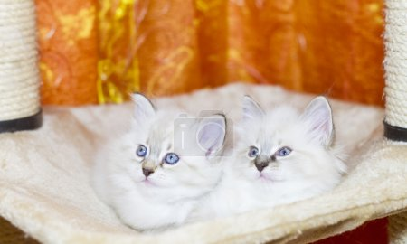 White puppies of cat, siberian breed
