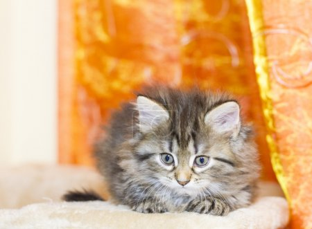 Siberian puppy of cat, brown version