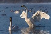 Labutí jezero zimní ptáci