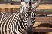 Zebra v zoo zblízka