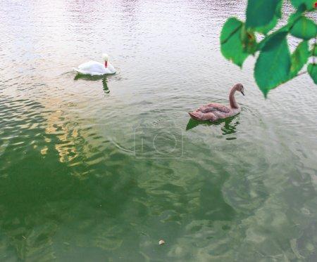 Waterfowl birds