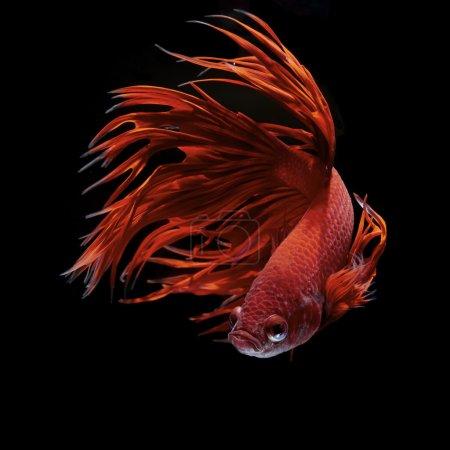 Photo for Betta fish, siamese fighting fish, betta splendens - Royalty Free Image
