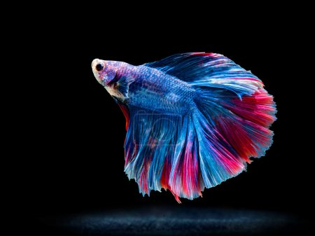 siam fighting fish on black, betta fish