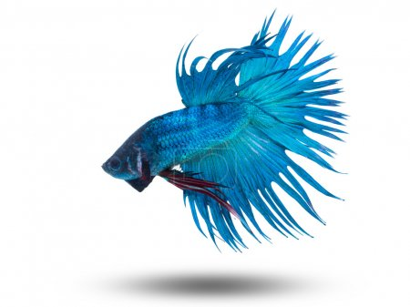 Siam fighting fish on white, betta fish