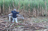 Man Loads Sugarcane on Small Donkey in Peru