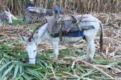 Burro Eats Sugarcane in Field in Peru