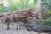 Burro With Heavy Load of Sugarcane in Peru