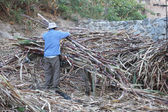 Man Unloads Sugarcane From Burro's Back in Peru