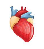 Vector human heart illustration