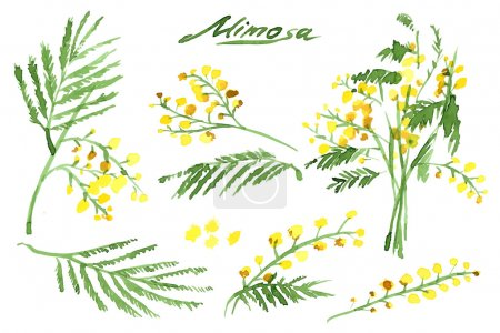 Illustration for Set of Hand-Drawn Mimosas, Painted in Watercolor. Vector Illustration - Royalty Free Image