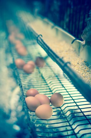 Eggs and chicken farm