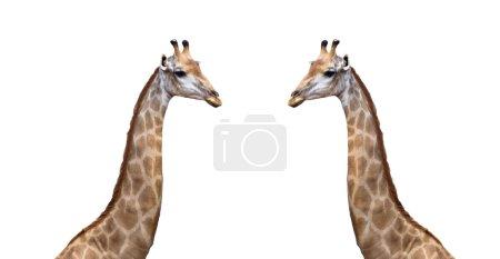 Two beside Giraffe on white background