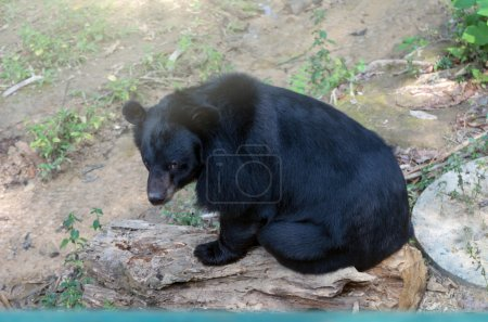 Black bear sitting on the timber
