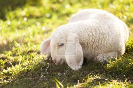 Photo pour Jeune agneau tendre sur les lumières d'été - image libre de droit