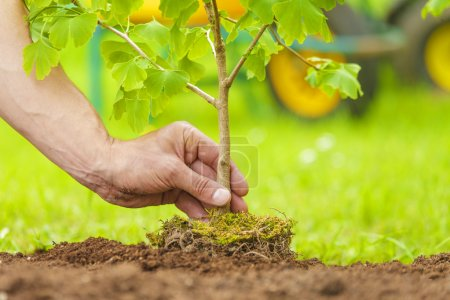 Hand Planting Small Tree with roots in a garden