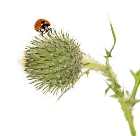 Tight buds Thistle with ladybird isolated on white.