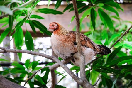 Beautiful chicken on the branch