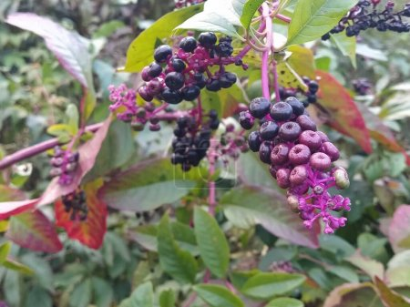 Photo pour Sambucus nigra est un arbuste à feuilles caduques de la famille des Adoxaceae. Belles feuilles rouges sculptées d'un buisson avec des baies vertes et bordeaux mûrissantes - image libre de droit