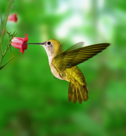 Photo for Hummingbird stopped in the air feeding from the flower. - Royalty Free Image