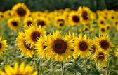Itálie: Slunečnice v poli