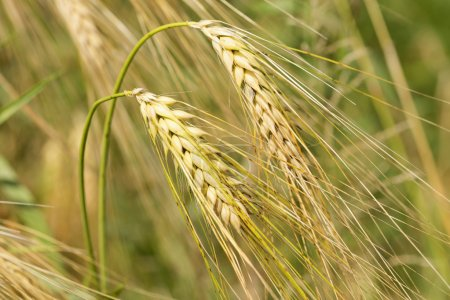 Detail of ripe Barley Spikes