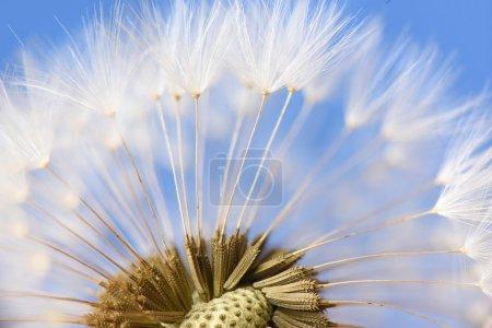 Closeup of dandelion on blue background