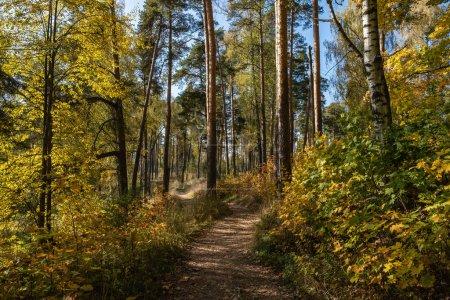Photo pour Forêt d'automne avec bouleaux et pins aux feuilles jaune vif par une journée ensoleillée. - image libre de droit