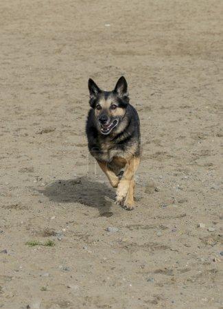 Photo pour Un berger allemand qui court dans le sable à la plage - image libre de droit