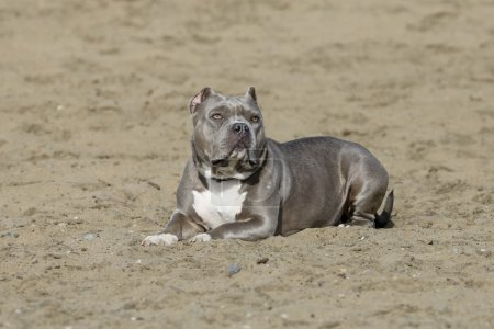 Photo for A blue nose pitbull posing for a portrait in the sand at the beach - Royalty Free Image