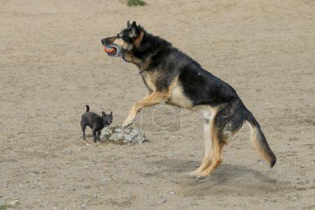 German Shepherd Dog jumping to catch a ball