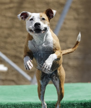 Happy pitbull jumping off the dock
