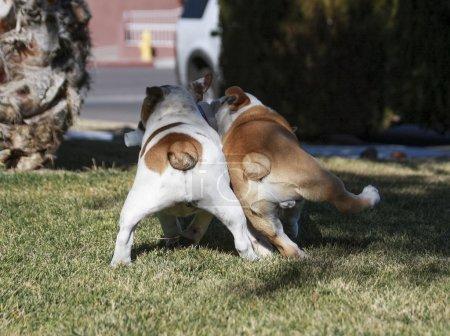 Bulldog rear ends