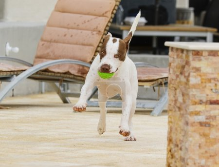 Dog dancing around the pool with a ball