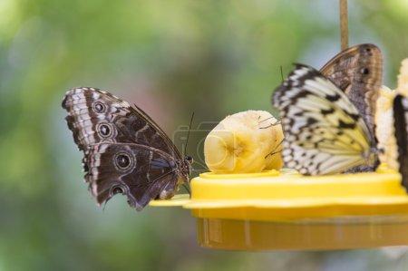 Butterflies eating banana