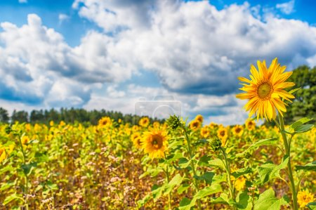 Photo for Beautiful landscape with sunflower field over cloudy blue sky and bright sun lights  hdr picture - Royalty Free Image