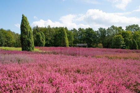 Photo pour Landes à bruyère commune à fleurs (Calluna vulgaris) et chêne dans la lande de Lueneburg (Lueneburger Heide) en Basse-Saxe, Allemagne - image libre de droit