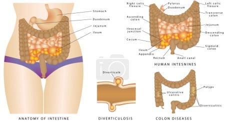Anatomy of human intestines