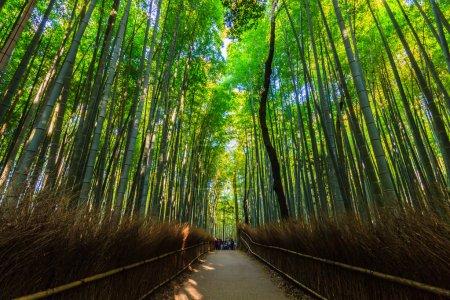 Photo pour Bamboo Groves, forêt de bambous à Arashiyama, kyoto Japon . - image libre de droit