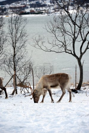 northern domestic deer in his environment in Scandinavia