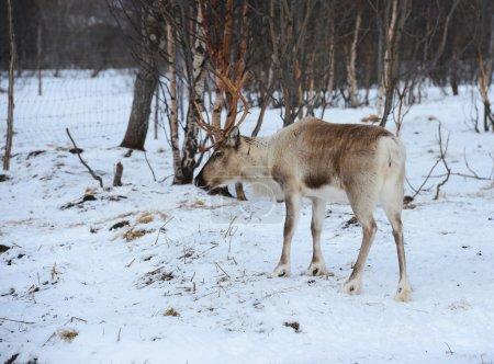 northern domestic deer in his environment in Scandinavia
