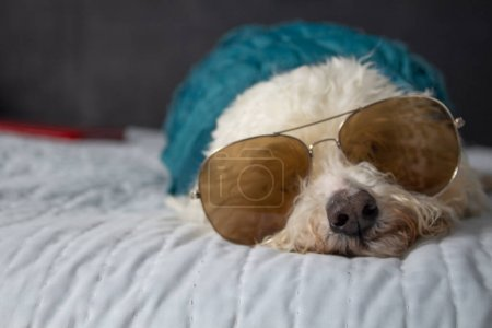 Photo for Adorable and beautiful dog on the bed wearing aviator sunglasses - Royalty Free Image
