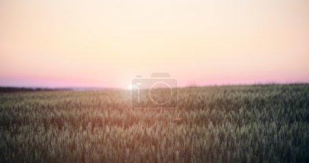 Photo for View of Sunset in a field of rye - Royalty Free Image