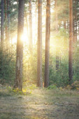 Evergreen forest at sunset. Sun rays through the wall of tall pine and young fir trees at sunset. Sunlight flowing through the tree trunks. Northern landscape. Ecology, environmental conservation