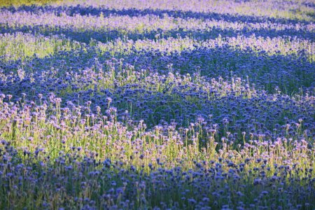 meadow with purple flowers