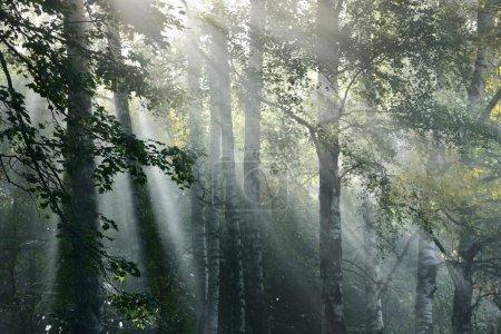 Photo pour Rayons de soleil dans un brouillard dans la forêt. Lettonie - image libre de droit