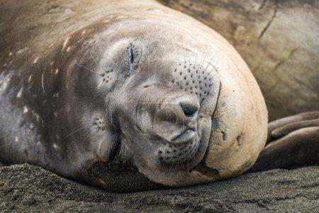 Photo pour Gros plan de l'éléphant de mer endormi sur la plage - image libre de droit